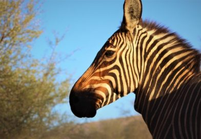 Returning past glory: How the Cape Mountain Zebra returned to the Baviaanskloof