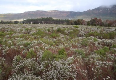 Passive restoration of Critically Endangered Cape Flats Sand Fynbos at lower Tokai Park section of Table Mountain National Park, Cape Town