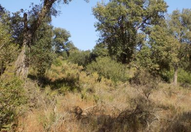 Cork oak forest restoration in the Maamora cork oak forest in Morocco (June to December 2019)