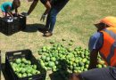 Hebron Mango Tree Growers