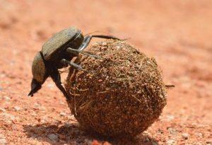 Dung beetles – indicators of biodiversity